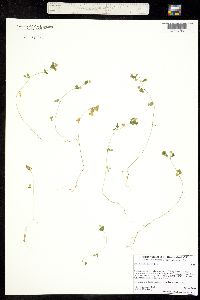 Image of Trifolium dubium
