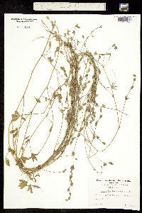 Image of Zornia bracteata