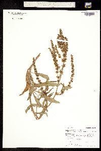 Image of Rumex salicifolius