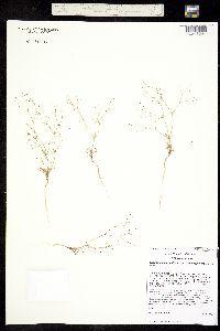 Image of Eriogonum spergulinum