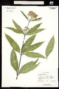Image of Eupatorium maculatum