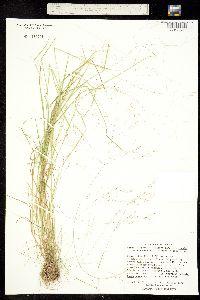 Image of Agrostis hyemalis