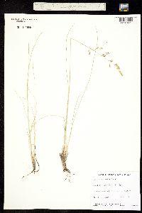 Image of Festuca altaica