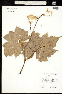 Hillebrandia sandwicensis image