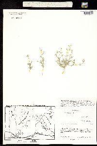 Cryptantha pusilla image