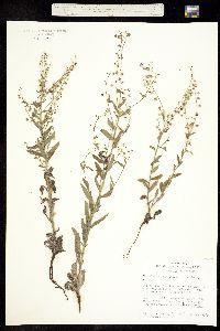 Hackelia besseyi image
