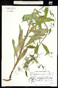 Image of Hackelia deflexa