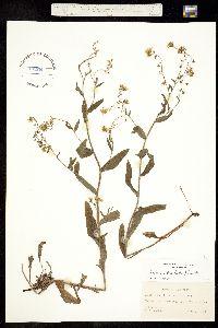 Hackelia diffusa image