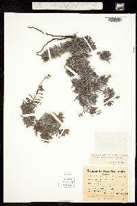 Heliotropium anomalum image