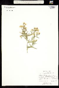 Image of Aster simplex