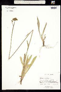 Image of Hieracium pilosella