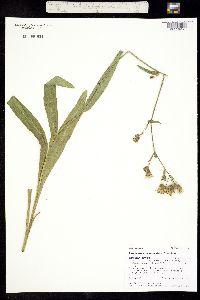 Hieracium cynoglossoides image