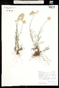 Image of Antennaria stenophylla