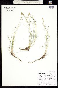 Image of Erigeron linearis