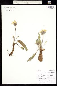 Image of Balsamorhiza serrata