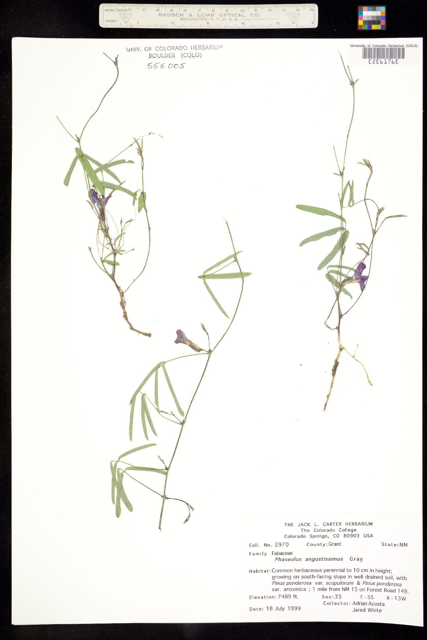 Phaseolus image