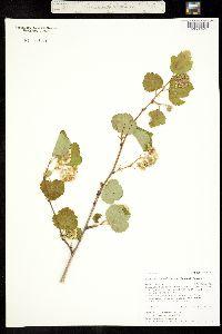 Image of Physocarpus malvaceus