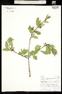 Image of Prunus emarginata