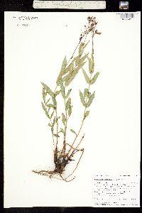 Image of Penstemon venustus