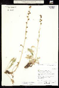Image of Artemisia arctica