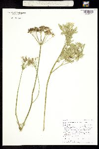Image of Ligusticum canbyi