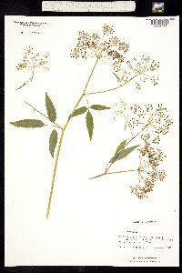 Image of Cicuta maculata