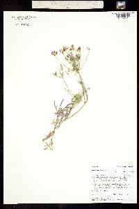 Image of Lomatium ambiguum