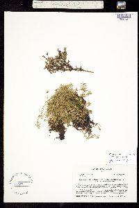 Image of Minuartia marcescens