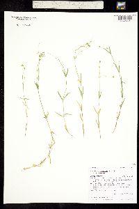 Stellaria longipes subsp. longipes image