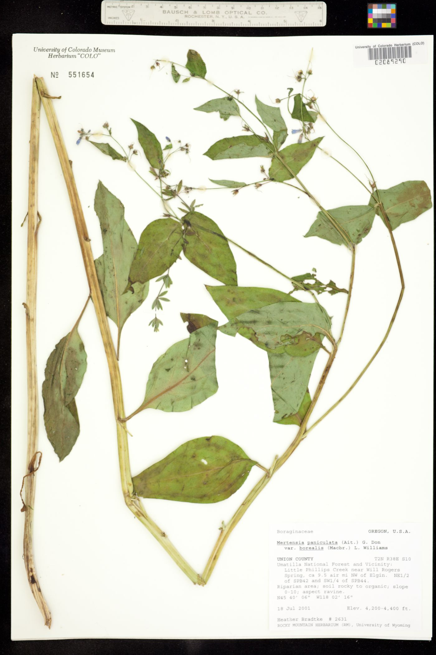 Mertensia paniculata var. borealis image