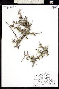 Condalia correllii image