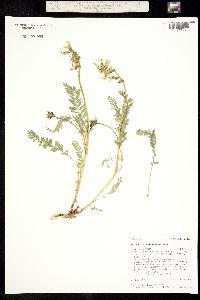 Image of Astragalus reventus
