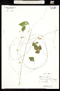 Image of Amphicarpaea bracteata