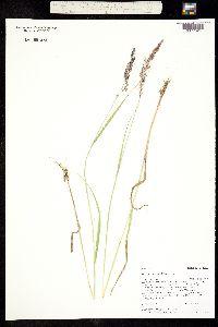 Image of Agrostis capillaris