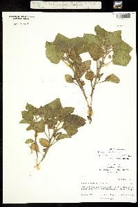 Image of Physalis neomexicana
