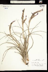 Image of Tillandsia baileyi