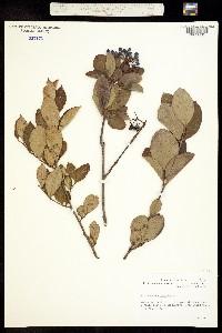 Image of Viburnum cassinoides