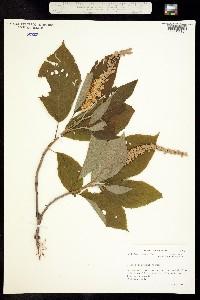 Image of Clethra acuminata