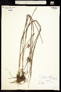 Image of Tradescantia ohiensis