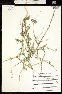 Image of Brassica geniculata