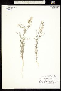 Image of Descurainia obtusa
