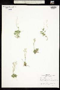 Image of Draba cruciata