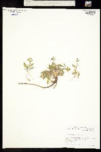 Image of Draba hyperborea