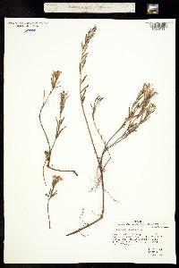 Image of Andromeda polifolia