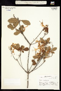 Image of Rhododendron viscosum