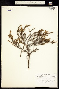 Image of Cassiope mertensiana