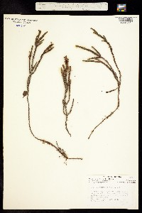 Image of Cassiope tetragona