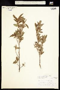Image of Elliottia pyroliflora