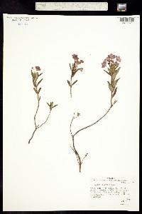 Image of Kalmia polifolia
