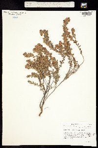 Image of Kalmia hirsuta